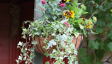 Hanging Baskets (8)